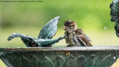 Sparrow at Bird Bath in Central Park